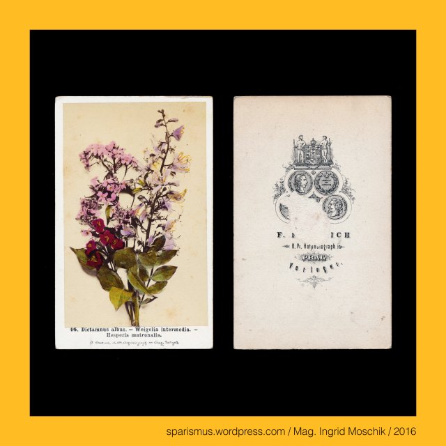 """F. Fridrich, Frantisek Fridrich (1829 Menik – 1892 Prague Praha Prag) – Czech photographer and publisher, Prag – Michaelsgasse Nr. 438-I., Praha – Michalska Nr. 438-I., Dictamnus = Diptam = Dittam = Diktam = Diktamnos = Diptam-Dost = Aschwurz = Brennender Busch = fraxinella = dittany = burning bush (1753 bis heute), Weigelia = Weigelie = Weigela (1780 bis heute), Weigelia – Etymologie – Christian Ehrenfreid Weigel (1748 Stralsund – 1831 Greifswald) – schwedischer Mediziner Botaniker Chemiker, Hesperis matronalis = Gewöhnliche Nachviole = Matronenblume = Kilte = dame's rocket (1753 bis heute), Hesperis = Hesperie – gr. hesperos """"evening or direction in which the sun sets"""" , Hesperia - gr. Hesperia """"Abendland or the western land"""", Hesperus - gr. hesperos aster """"the evening star or Abendstern"""" – PIE *wes-pero- """"evening or night"""" – PIE *we- """"down or downward"""", Wenzel von Böhmen (circa 908 – circa 935), Wenzel von Böhmen = Wenzeslaus von Böhmen, Svaty Vaclav = Wenceslaus I - Duke of Bohemia, Wenzelsplatz (1848 bis heute), Rossmarkt = Konsky trh (1348 – 1848), Vaclavak = Vaclavaske namesti = Wenceslaus Square, Prag - Palais Thurn und Taxis = Thurn-Taxisovsky palac (1726 bis heute), Prag - Mala Strana - Letenska 7 = Palac Thurn-Taxisu, Prag - Certovka - Moldau-Kanal, Prag - Certovka = German """"Teufelsgraben"""" = English """"Devils Channel"""" = Italiano """"canale del diavolo"""", Prag - Letna = Sommerberg = Belvedere, Prag – Letna Park = Letenske sady = Letna Park, Prag – Letna Ebene = Letenska plan = Letna plain, Stockrose = hollyhock = Stockmalve = Pappelrose = Bauernrose = Alcea rosea = Althea rosea, hollyhock = Middle English holihoc """"holy marsh mallow"""" """"Holy Land mallow"""", Camellia = Kamelie = Camellia japonica L., Camellia japonica nach """"KAMEL"""" durch Carl von Linne, Georg Joseph Kamel (1661 Brünn – 1701 Manila) = Georgius Josephus Camellus - mährischer Jesuit und Naturforscher = nomenklatorisch """"KAMEL"""", Narcissus tazetta = Tazetta = Tazette = Strauss-Narzisse = Bukett-Narzisse = me"""